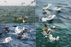 Seabirds fighting for the food