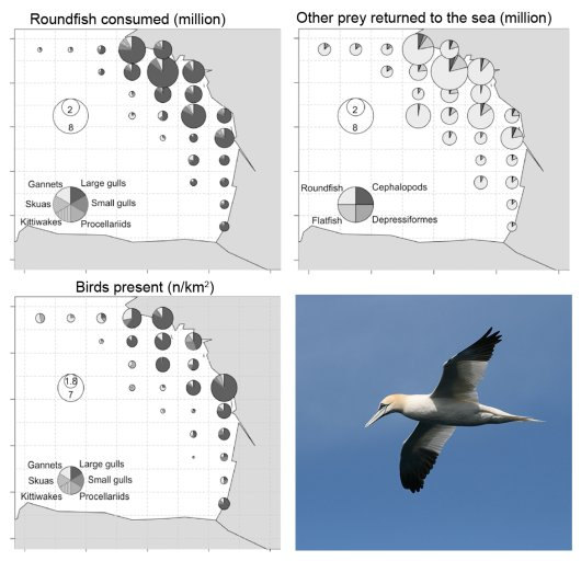 Top left: Modelled consumption of discarded roundfish by seabirds in the period April to September in the Bay of Biscay; Top right: numbers of prey not eaten by the birds; bottom left: bird density (n/km2); bottom right: Gannet.